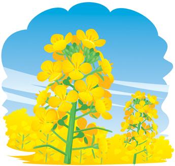 1.30*菜の花*26-332*.jpg