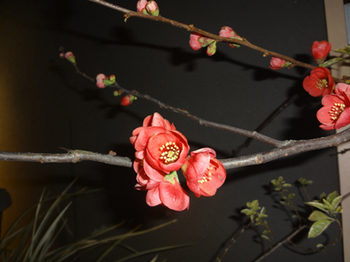 2.19*酒場のボケの花*30-343.jpg