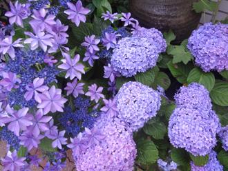2016.6.8*朝5時の紫陽花*27-240.jpg