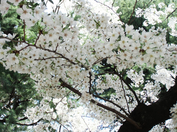 2018.3.27*昼前の桜*6.6.jpg
