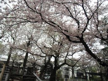 4.11*雨の公園さくら*6.7-354.jpg