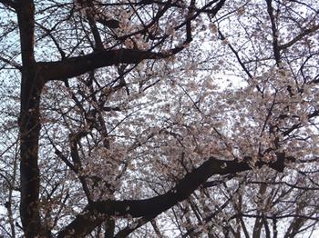 4.2*公園さくら-2*33-415.jpg