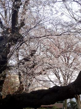 4.2*公園の桜*6-33-415.jpg