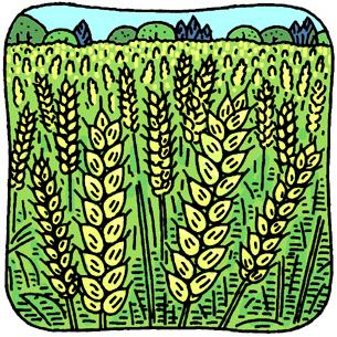 6.7*麦畑*100-273.jpg