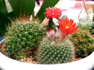 7.2*サボテンの花*6.72-238.jpg