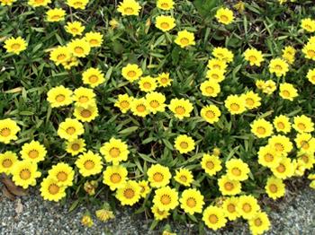 この黄色い花*5.5-272.jpg