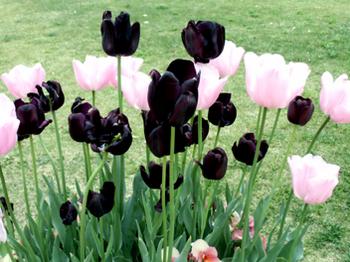 ピンクと黒のチューリップ*5.5-272.jpg