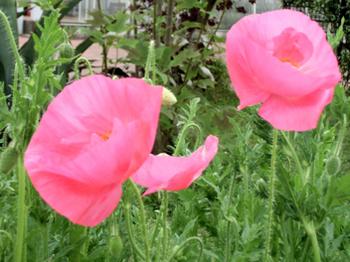 ピンクのポピー?6.06-272.jpg