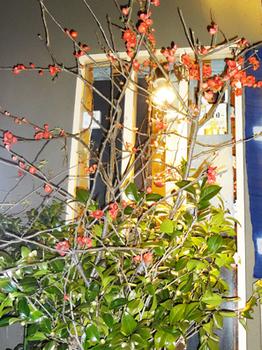 ボケの花*53-344.6.jpg