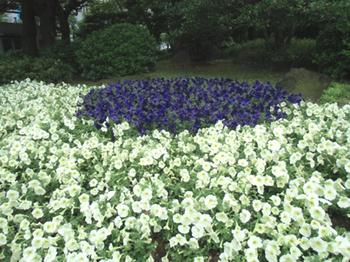 日比谷公園*花壇*6.3-357.jpg