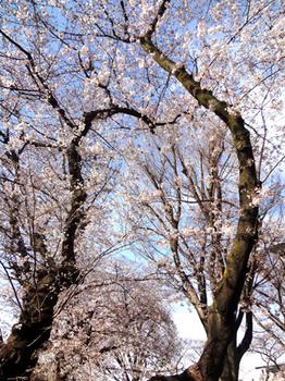 桜*35.5-418.jpg
