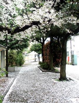 桜の絨毯*9.3-422.jpg