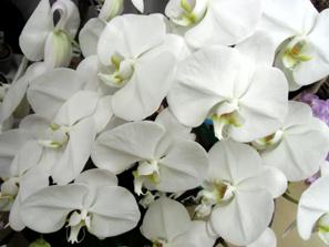 白い蘭*5.37-194.jpg