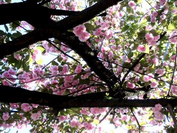 神社の八重桜*6.4-369.jpg
