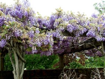 紫の藤*5.9-272.jpg