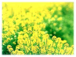 菜の花-115-221.jpg