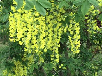 黄色い藤?6.28-272.jpg