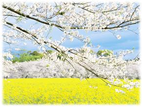 19.2.24*桜と菜の花*34.2-186.7.jpg
