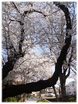 2018.3.25*公園の桜32-389.8.jpg