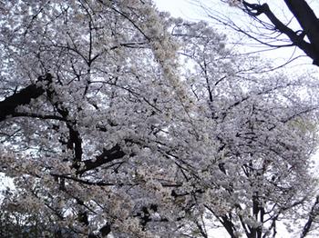 2018.3.27*朝5:30の桜*32-389.8.jpg