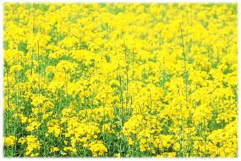 3.9*菜の花*54.5-238.2.jpg