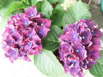 紫の紫陽花*6.64-326.0.jpg