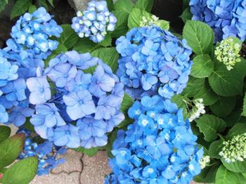 青い紫陽花*7.7-326.0.jpg